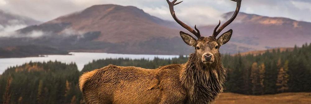 Deers on Wallpaper